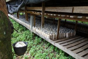 bags with oyster mushroom spawn in the back, collection of rubber from a rubber tree in the front, Thailand