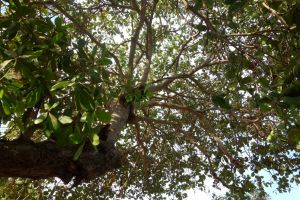 cashew tree in Lombok, Indonesia