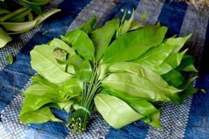 bunch of kaffir lime leaves on local market in Thailand