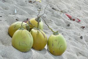 mature coconuts on the beach in Lombok, Indonesia