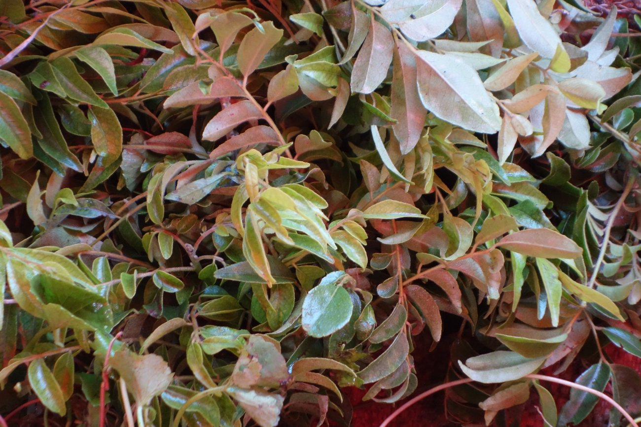 Curry Leaves Authentic World Food