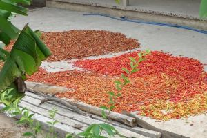 Drying of red chilies in Cai Bai by Mekong river in Vietnam