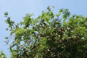 tree with ripening tamarind husks in India