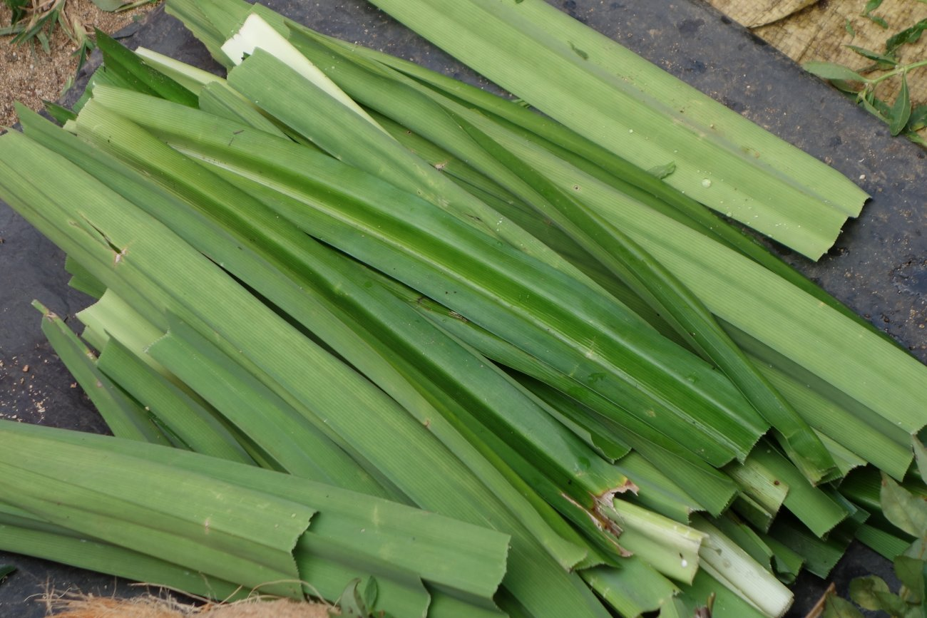 pandan leaves essay Advances in pharmacological sciences is a peer-reviewed  extraction of aroma compound from pandan leaf and use of the compound to enhance rice flavor.