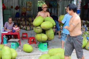 Jack fruit - the fruit - getting ready for export in Delta Mekong area, Vietnam