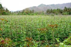 Green bean field on Lombok, Indoneisa - by Authentic World Food